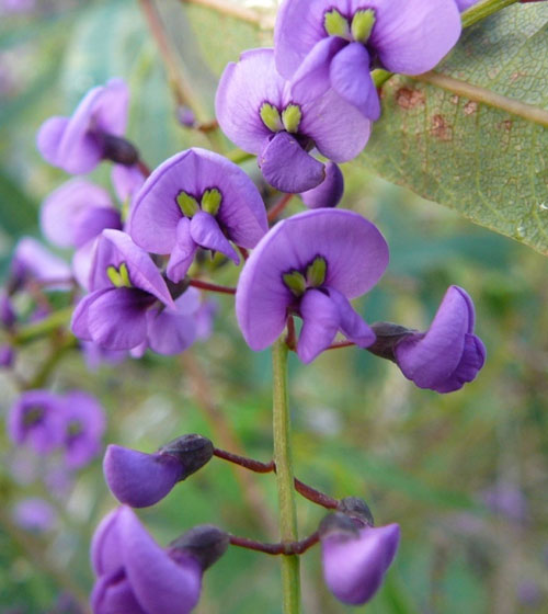 Hardenbergia flowers just near the Trig Station