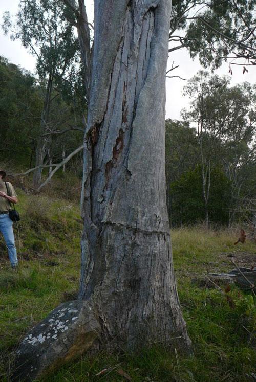 Blazed tree that was located by CRWP team